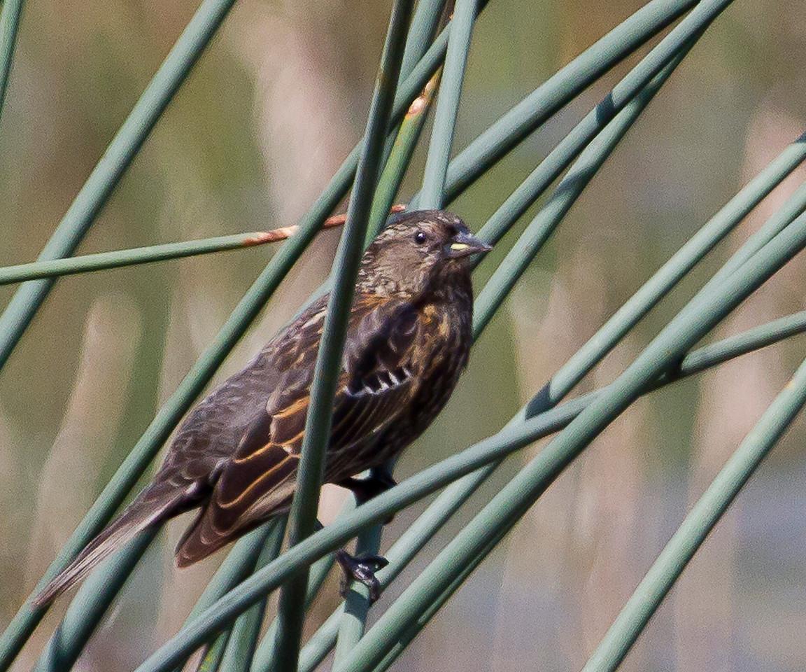 Red- winged Blackbird - FEMALE Gray Lodge