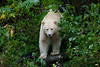 A spirit bear emerges from the rainforest