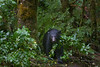 A black bear emerges from the BC rainforest