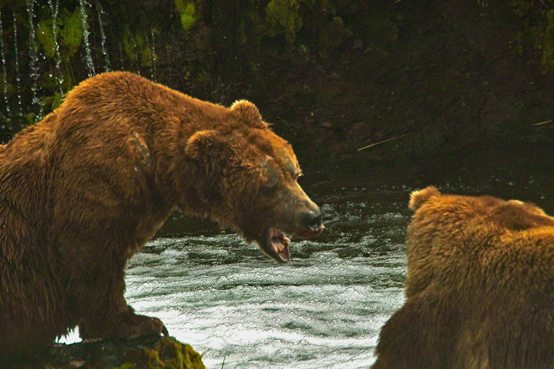 """Cordial Grizz expressing Alaskan hospitality at Brooks Falls.  """" Out of here Dude! Catch your own damn fish!"""""""
