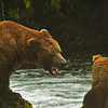"Cordial Grizz expressing Alaskan hospitality at Brooks Falls.  "" Out of here Dude! Catch your own damn fish!"""