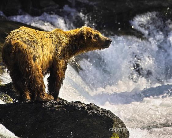 Grizz at Brooks Falls, Ak