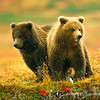 Grizz cubs