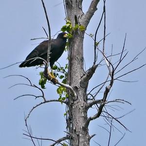 Great Black-Hawk
