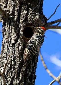 Ladder Back Woodpecker