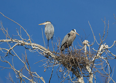 Great Blue Heron Couple