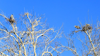TWO Great Blue Heron nests!
