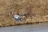 IMG_6441Blue Heron