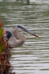 GBH with a fry
