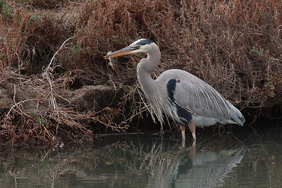 Great Blue Heron with fish!