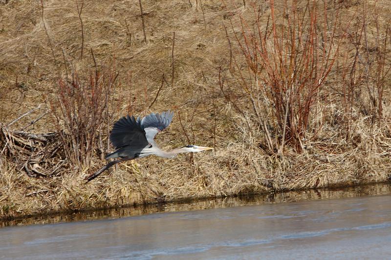 IMG_6442Blue Heron