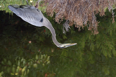 Great Blue Heron water reflection