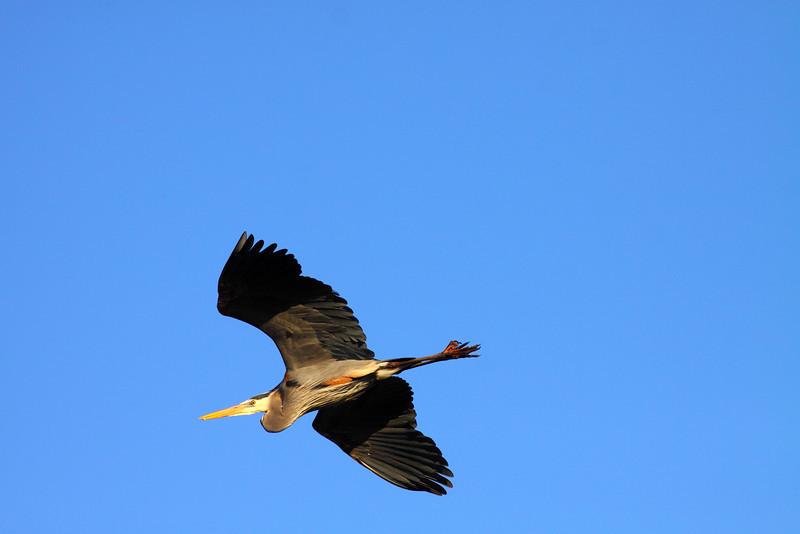 IMG_6672Great Blue Heron