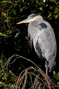 Great Blue Heron on a tree!