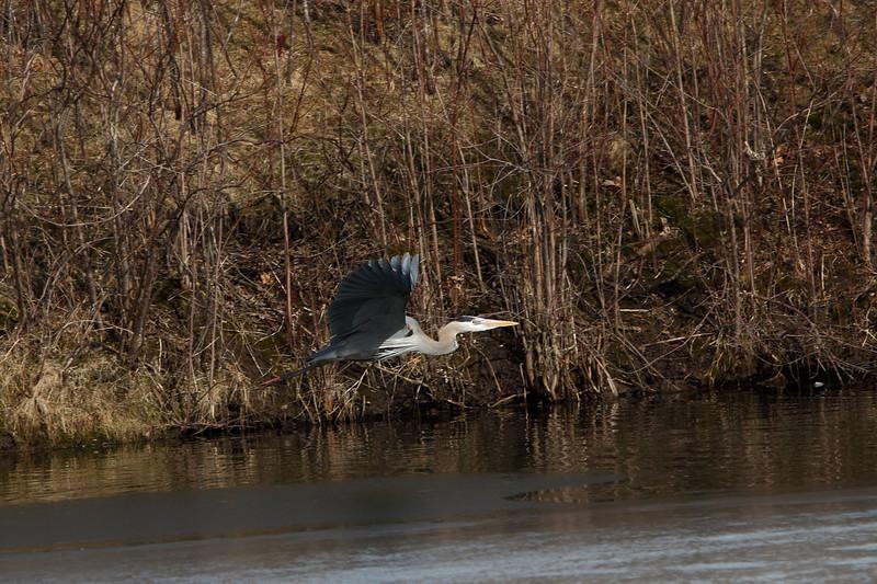 IMG_6444Blue Heron