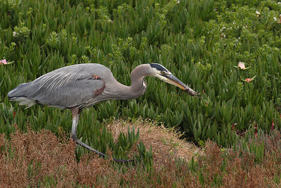 Great Blue Heron with a mice!