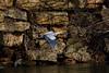 IMG_6449Blue Heron