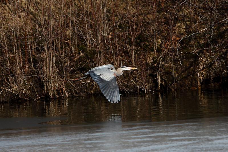 IMG_6445Blue Heron