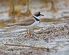 Semipalmated Plover in the mudflats: adult with breeding colors