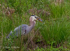 Great Blue Heron prepares to swallow a large fish.