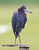 Little Blue Heron poses on a perch
