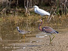 Tricolored Heron fishing with friends