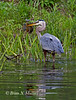 Great Blue Heron catches a fish.