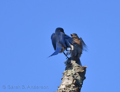 Eastern Bluebirds, courting?