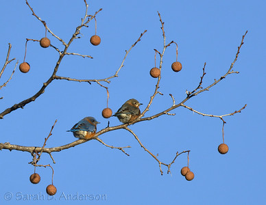 Eastern Bluebirds, male (left) and female (right)