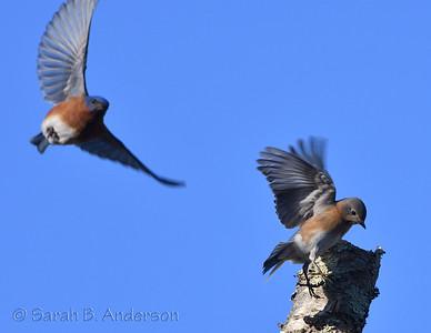 Eastern Bluebirds, male (left) & female (right)