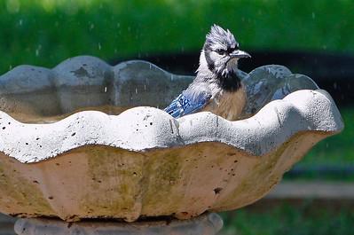 Blue Jay in the Bird Bath