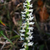 Great Plains Ladies' Tresses Orchid   (Spiranthes magnicamporum)