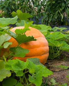 pumpkin-9593