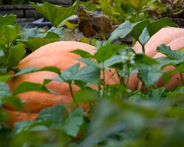 pumpkin-9584
