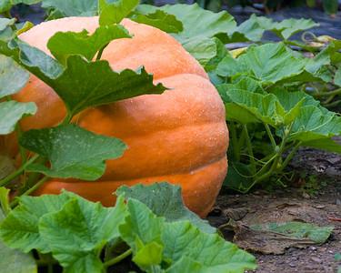 pumpkin-9589