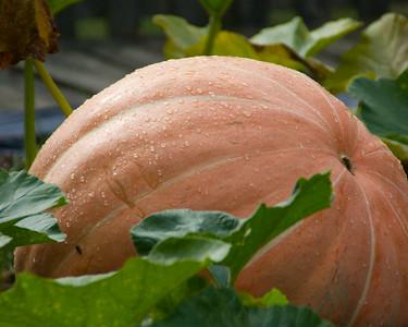 pumpkin-9570
