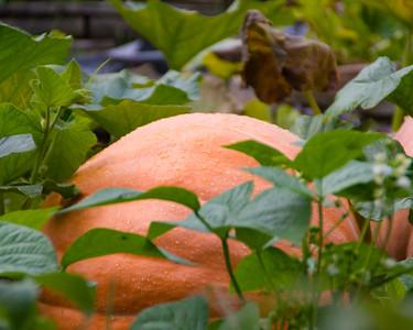 pumpkin-9578