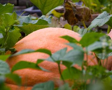 pumpkin-9580