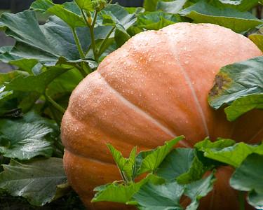pumpkin-9566