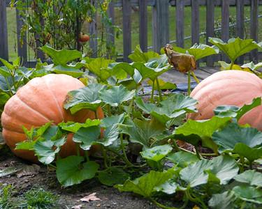 pumpkin-9573