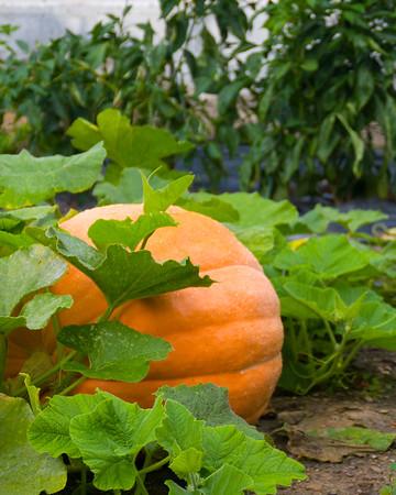 pumpkin-9594