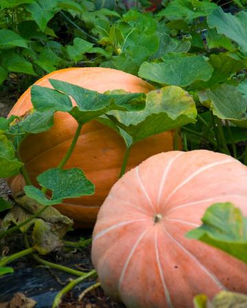 pumpkin-9621