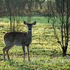A deer in the early morning light, Cades Cove, Great Smoky Mountains