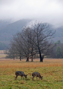 Deer Grazing In Cades Cove