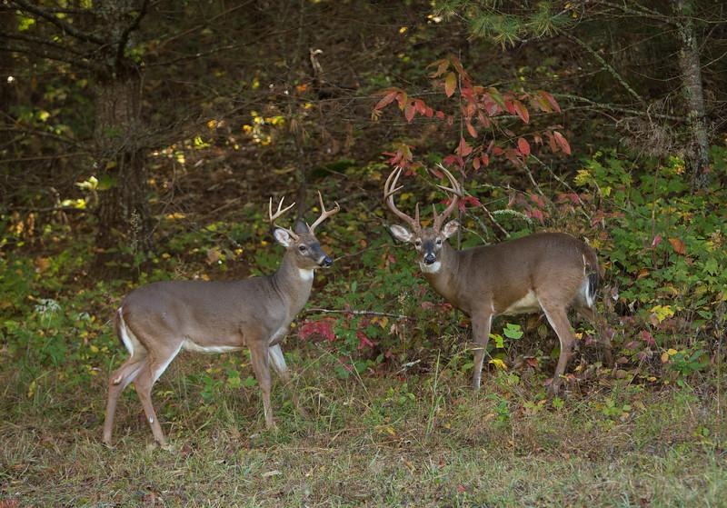 White-tailed bucks, Cades Cove