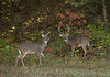 White-tailed bucks, Cades Cove