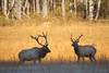 Bull elk facing off during the rut.