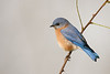 Eastern Bluebird in Morning Fog