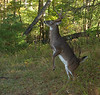 White-tailed buck standing to feed on leaves