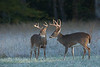 White-Tailed Bucks on Frosty Morning